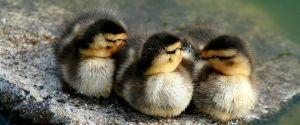 Duck Sleep